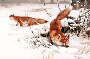 1200px-Common_foxes_in_the_snow